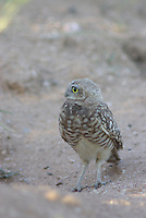 Burrowing Owl seen on the ground near the nest, A hole in the ground