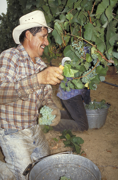 Field worker harvesting grapes in Anderson Valley, CA.  CD scan from 35mm film.  © John Birchard