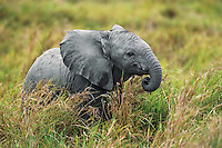 Very young african elephant calf.  Africa.