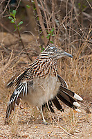 576010043 a wild greater roadrunner geocoyccx claifornianus at falcon dam state park rio grande valley texas united states