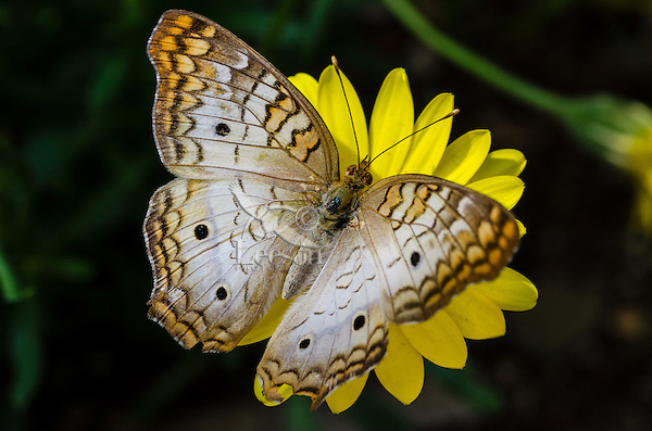 White Peacock butterfly (Anartia jatrophae).  Found through out the Southeastern U.S. south to southern South America.