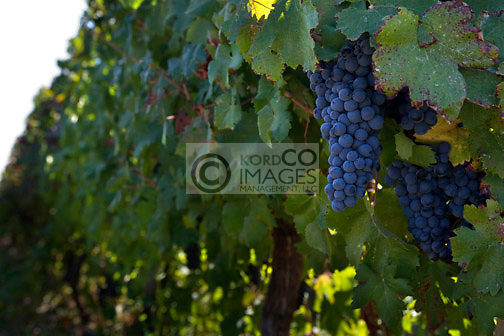 MALBEC GRAPES CONCHA Y TORO VINEYARDS SANTA CRUZ COLCHAGUA VALLEY CHILE
