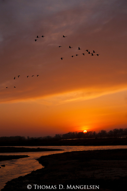 Sandhill cranes fly into roost at the Platte River in Nebraska.