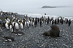 Antarctic fur seal and king penguins on Salisbury Plain in South Georgia.