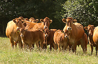 Pedigree Limousin beef cows and calves Hesket Newmarket, Cumbria.
