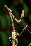 Praying Mantis, Empusa pennata, in striking position, Provence.France....