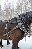 USA, Colorado, Aspen, sleigh horse at the Pine Creek Cookhouse, Ashcroft