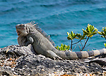 Bonaire, Netherland Antilles -- The Antillean iguana, a protected species, is found all over Bonaire.