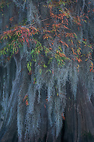 A splash of fall color on this old bald cypress in the swamplands of Louisiana's Atchafalaya basin.