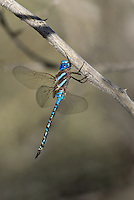 339360064 a wild male blue-eyed darner rhionaeschna multicolor perches on a dead stick  in yuma county arizona