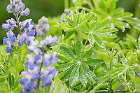 Water droplets on the leaves of Lupine plant, Katmai National Park, Alaska Peninsula, southwest Alaska.