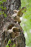 Two great horned owlets stretch their wings--one perched above its sibling in their nest in the heart-shaped hollow of a cottonwood tree in Grand Teton National Park, Wyoming.