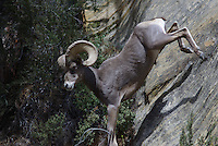 Desert Bighorn Sheep Ram seen jumping down a rock ridge with ease, in southern Utah's Zion National Park.