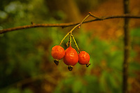 Berries of Three