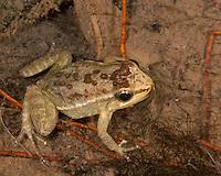 Loja rocket frog; Hyloxalus elachyhistus; Jorupe Reserve; Ecuador; Prov. Loja