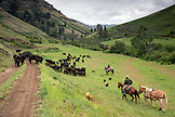 USA, Oregon, Joseph, Cowboys Todd Nash and Cody Ross move cattle from the Wild Horse Creek up Big Sheep Creek to Steer Creek in Northeast Oregon