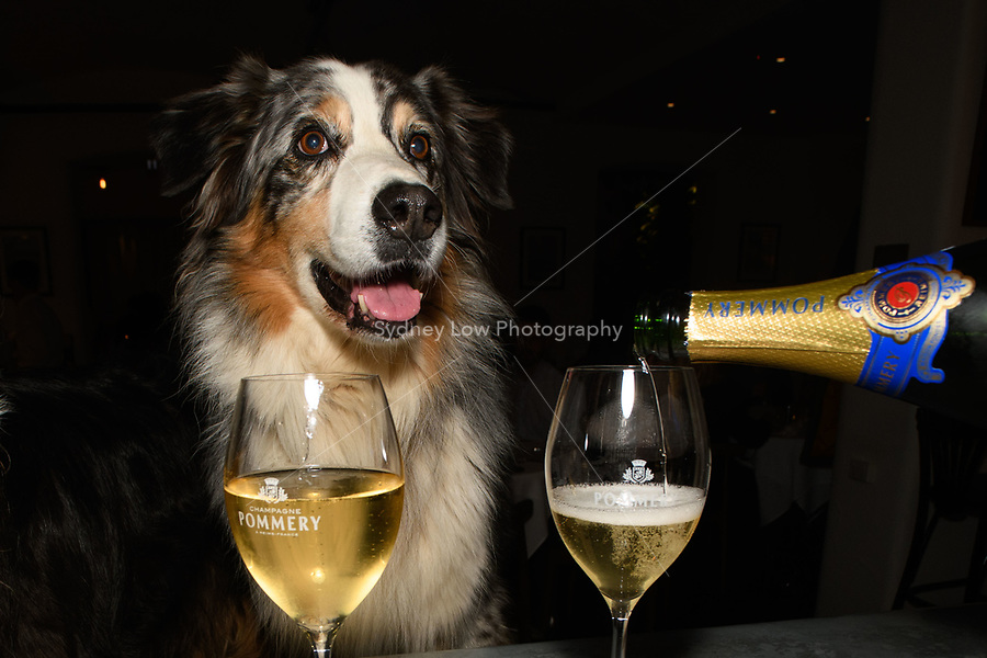 Melbourne - June 15, 2018: Isadora from Brimfeldt Truffle dogs pose for photos at the Annual Truffle Dinner at Philippe Restaurant in Melbourne, Australia. Photo Sydney Low