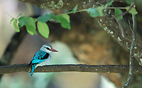 A distant view of my first Woodland kingfisher, in the Ngorongoro Crater.