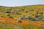 A herd of sheep graze the poppy and wildflower covered hills in Antelope Valley, Calif.