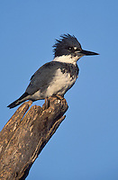 Belted Kingfisher - Megaceryle alcyon - male