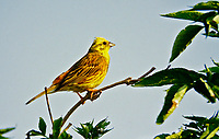 Goldammer, Männchen, Gold-Ammer, Ammer, Emberiza citrinella, yellowhammer, male, Le Bruant jaune