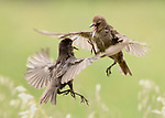 Pictured: A pair of juvenile starlings fighting<br /> <br /> Birds repeatedly battle in the air, screeching and clawing at each other as they fight over food.  The air above a small bird feeder in a British garden is almost a constant scene of war as jackdaws, magpies, rooks, and starlings conduct a series of aerial duels.<br /> <br /> The battling birds were pictured over the back garden of computer programmer Alex Appleby's home in Hatfield Peverel, Essex.   SEE OUR COPY FOR DETAILS.<br /> <br /> Please byline: Alex Appleby/Solent News<br /> <br /> © Alex Appleby/Solent News & Photo Agency<br /> UK +44 (0) 2380 458800