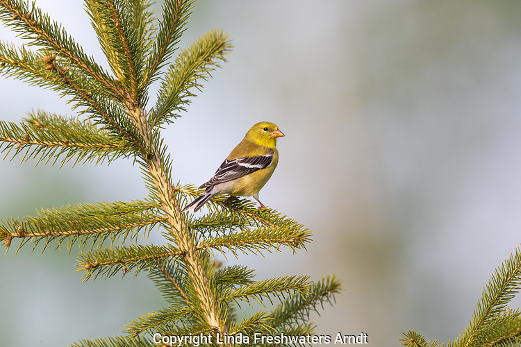 Female American goldfinch perched in a white spruce tree.