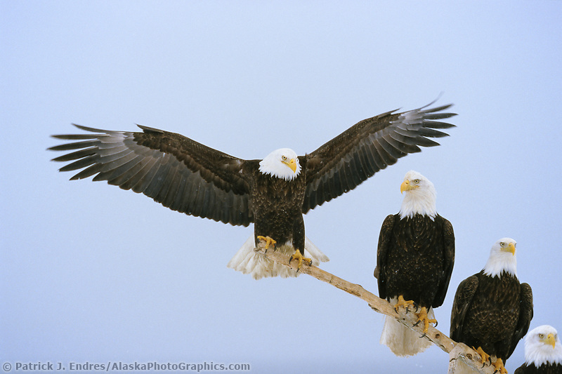 Bald eagle spreads its wings while perched on a drift wood branch along the beach of Kachemak bay in Homer, Alaska.