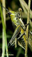 OR01-007b  Grasshopper - slant faced meadow locust - Chorthippus curtipernis
