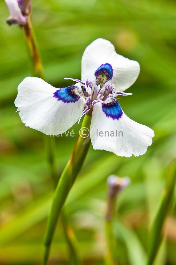 Moraea aristata, Blue-eyed Uintjie or Blouooguintjie in Afrikaans
