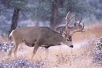 Mule Deer, Black-tailed Deer (Odocoileus hemionus), buck in snow storm, Colorado, USA