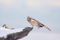 A Short-eared Owl stretches each wing alternately in preparation for an evening hunt. These owls provide the greatest example of low wing-loading, meaning that they have the lowest weight per area of wing surface, favoring them with the most buoyant flight, a useful feature in an open, treeless landscape.