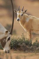 Arabian Oryx, Oryx leucoryx, Dubai Desert Conservation Reserve, Dubai