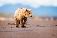 The sun is just coming up over The Cook Inlet.  This young Brown Bear and its sibling, orphans whose mother was killed in 2016, are wary of other bears - their biggest danger during salmon run.  Once winter sets in, their biggest danger will be starvation.  They both look very healthy, thought, and have the advantage of experience.  They made it through their first winter on their own.  Hope these guys make it again this winter.