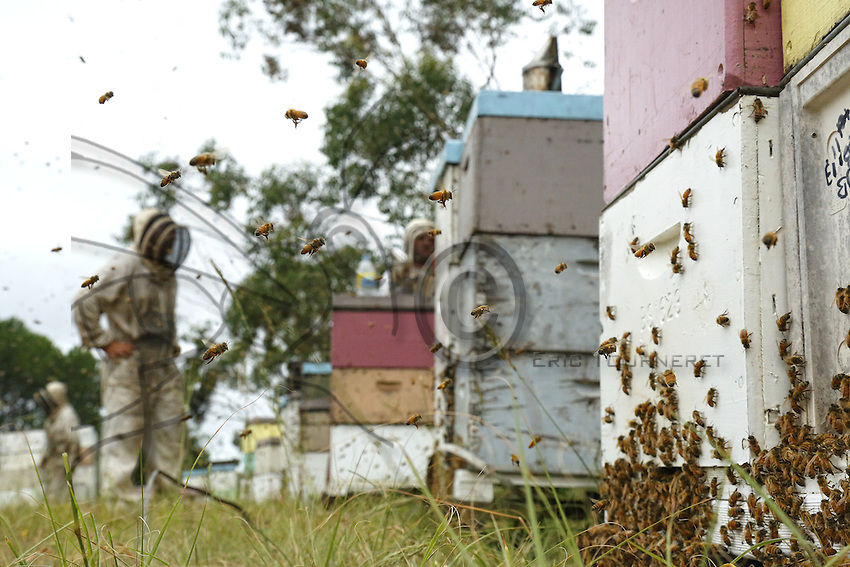 Honey harvest at Ben Brown's apiary near Newcastle on the east coast. 27 years old, Ben Brown set up as a professional beekeeper four years ago. Son of a beekeeper, Ben began the profession at the age of 16 by helping his father; today he owns 600 hives and has produced nearly 80 tons of honey. A true record but Ben is still setting himself up and he does the maximum to be able to invest and buy for himself land and a warehouse.///Récolte de miel sur le rucher de Ben Brown près de Newcastle sur la côte Est. À 27 ans, Ben Brown s'est installé comme apiculteur professionnel il y a quatre ans. Fils d'apiculteur, Ben a commencé le métier à 16 ans en aidant son père, il possède aujourd'hui 600 ruches et à produit près de 80 tonnes de miel. Un vrai record mais Ben s'installe et il fait le maximum pour pouvoir investir et s'acheter un terrain et un hangar.