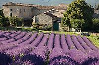 Europe/France/Rhône-Alpes/26/Drôme/Env de Grignan: Champ de Lavande et  Habitat provençal