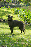 Belgian Sheepdog <br />