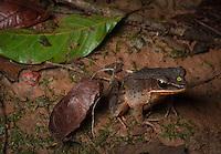 Brilliant Forest Frog (Lithobates warszewitschii) - Siquirres, Costa Rica.