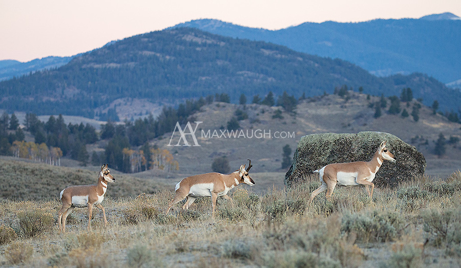 During the autumn rut, male pronghorns will follow their does everywhere.