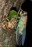 0901-0820  Recently Emerged Adult Dog-day Cicada with Skin, Tibicen spp.  © David Kuhn/Dwight Kuhn Photography