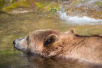 Bruine beer (Ursus arctos)