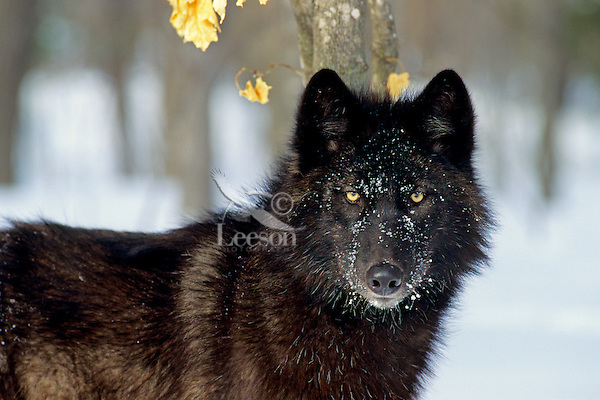 Black Gray Wolf (Canis lupus) in early winter.