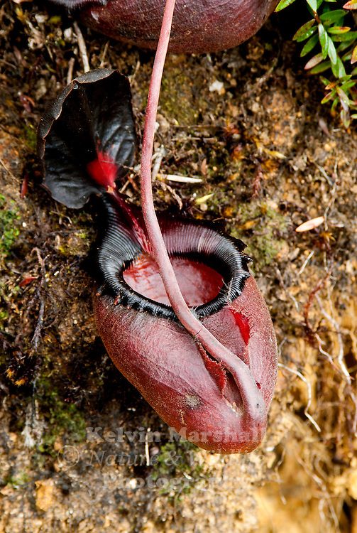 Nepenthes rajah  is an insectivorous pitcher plant species of the Nepenthaceae family. It is endemic to Mount Kinabalu and neighbouring Mount Tambuyukon in Sabah, Malaysian Borneo.