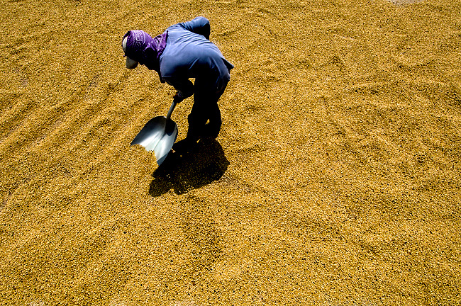 Worker spreads sun dried coffee beans on a coffee farm in the coffee town of San Marcos de Tarrazu, Costa Rica.  The mountainous area is known as Los Santos.