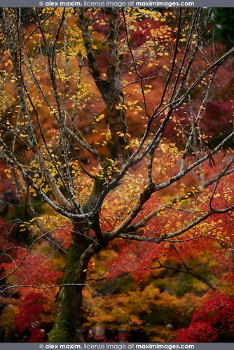 Colorful red and yellow autumn trees in a Japanese garden at Tofuku-ji, Kyoto, Japan Image © MaximImages, License at https://www.maximimages.com