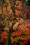 Colorful red and yellow autumn trees in a Japanese garden at Tofuku-ji, Kyoto, Japan
