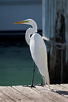 Great White Egret, also called American or Common Egret,  (Ardea Alba), Birds, Florida Keys