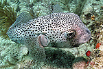 Chilomycterus reticulatus, Spotfin burrfish, Florida Keys