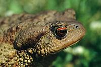 Erdkröte, Portrait mit großer Ohrdrüse, Erd-Kröte, Kröte, Bufo bufo, European common toad
