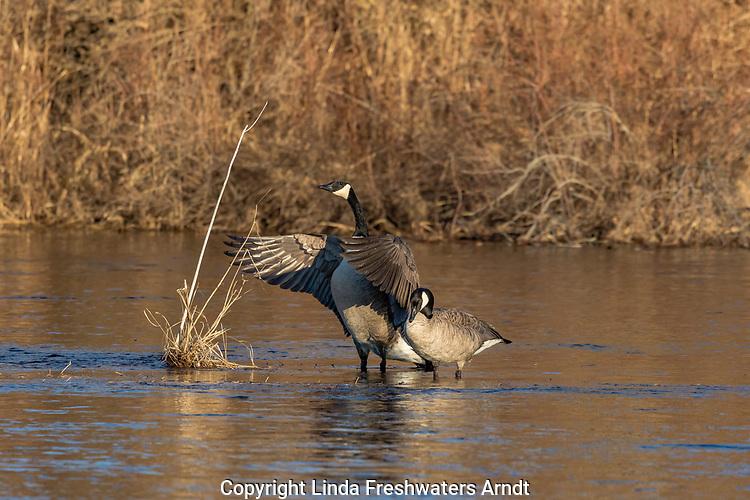 Canda geese - breeding pair